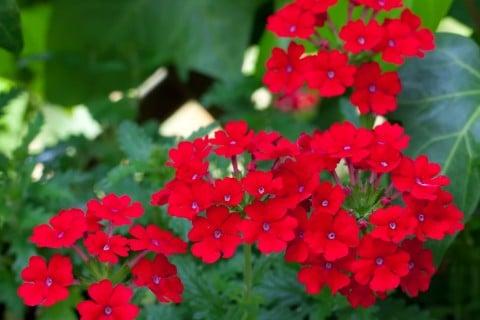 バーベナ8月12日誕生花