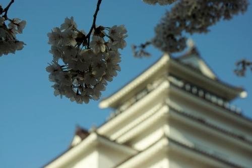 8桜 (1200x800)