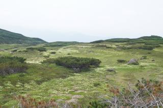 旭岳7チングルマ