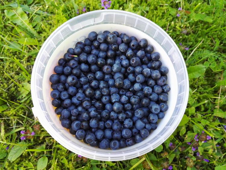 フィンランド ブルーベリー ビルベリー Mustikka Blueberry