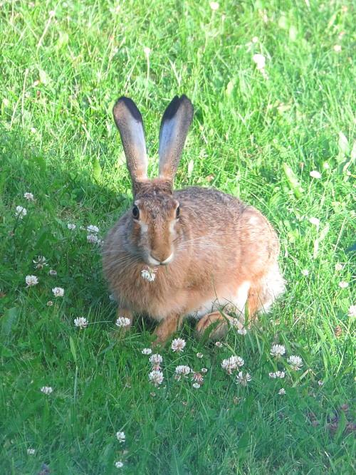 フィンランド 庭 うさぎ ウサギ 兔 Rusakko