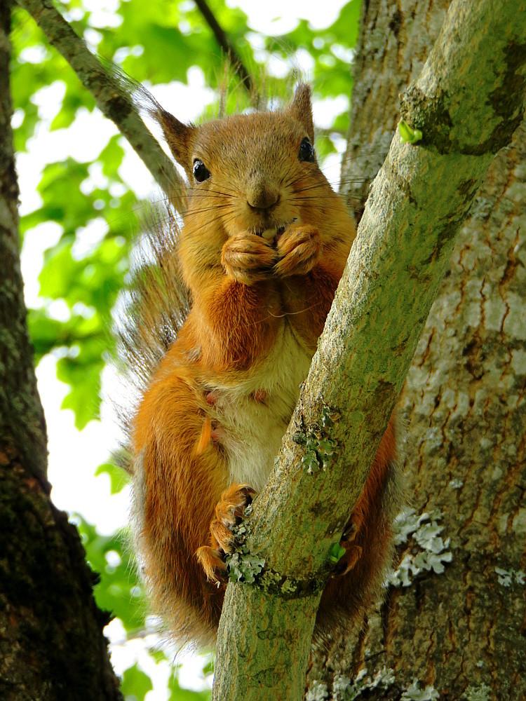 フィンランド 庭 可愛い訪問者 リス Orava Squirrel
