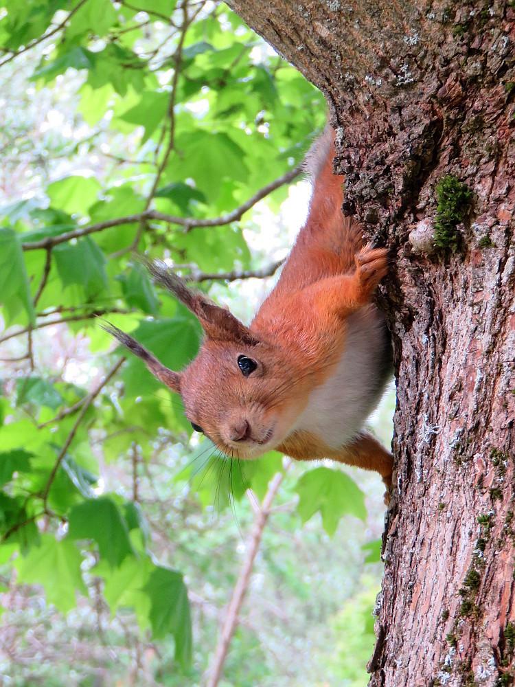 フィンランド 庭のかわいい訪問者 リス Squirrel Orava