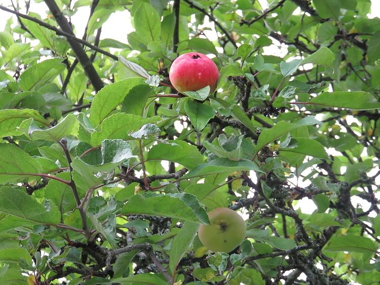 フィンランド 庭 秋 リンゴ Omena Apple