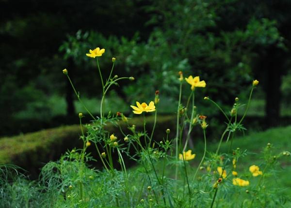 kosumosu08061.jpg