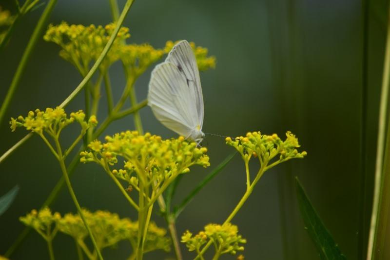 オミナエシと蝶DSC_0618