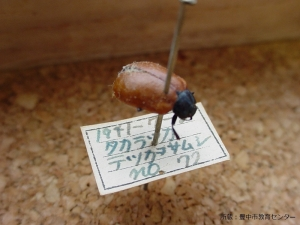 豊中市教育センター所蔵昆虫標本3 - 縮小