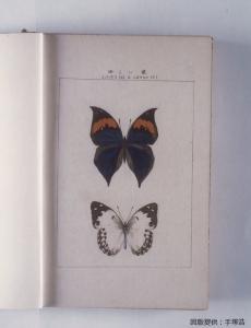宝塚昆虫館報■コノハチョウ、シロタテハ - 縮小・キャプション入り