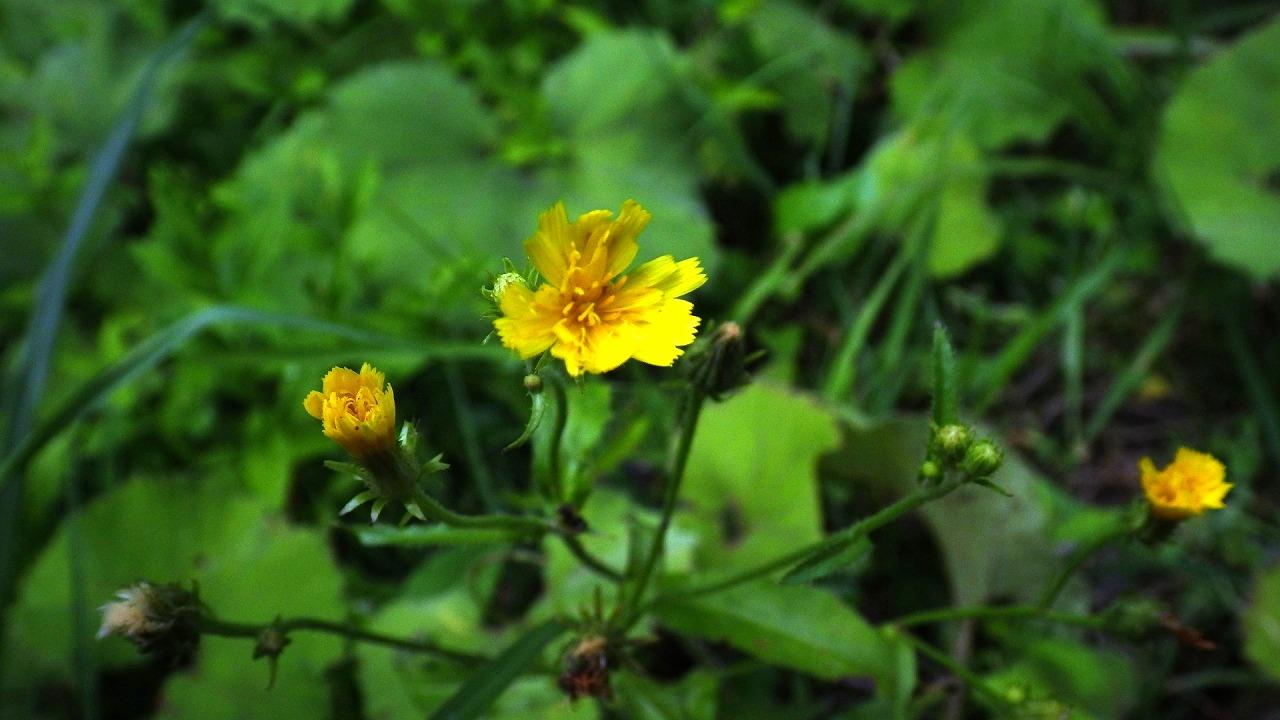 ハナニガナ716池ヶ原湿原