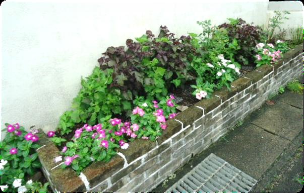 紫蘇ガーデン1