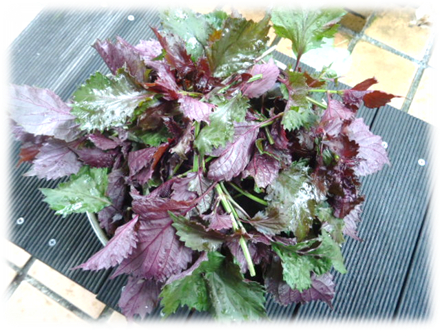 紫蘇ガーデン2
