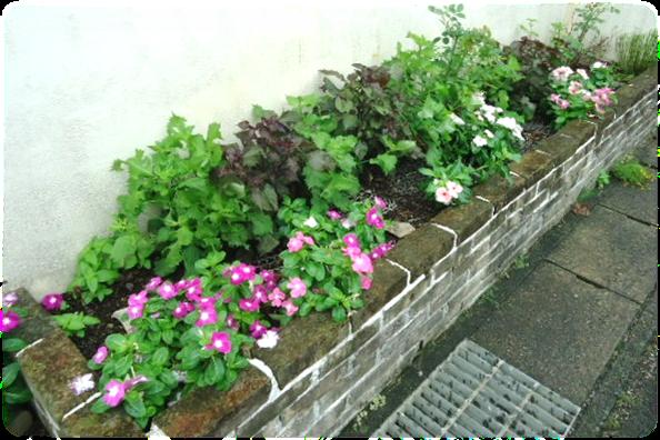 紫蘇ガーデン9