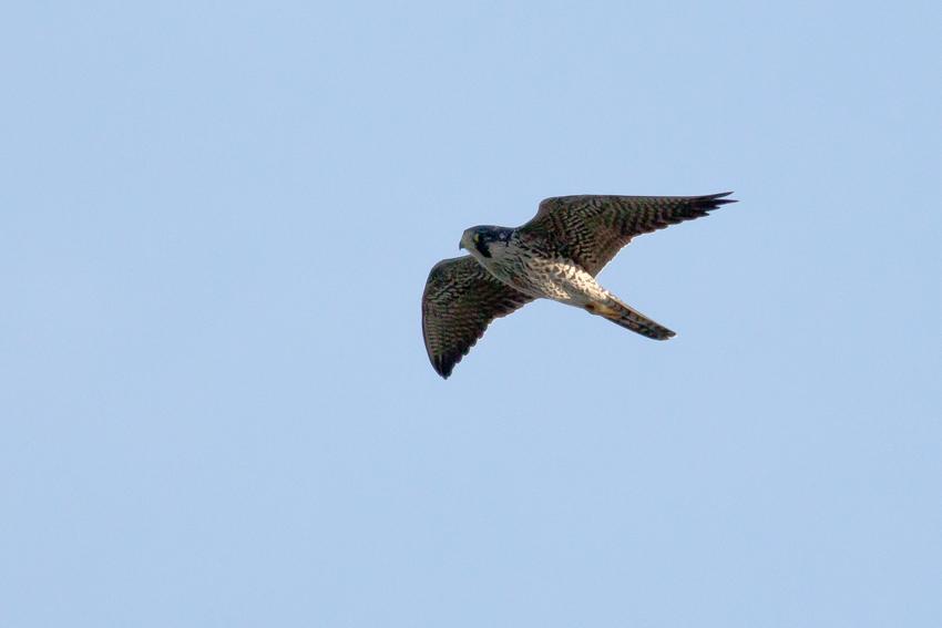 170908 ハヤブサ幼鳥