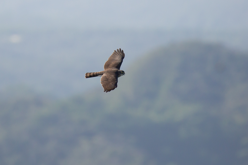 170920ツミ幼鳥1