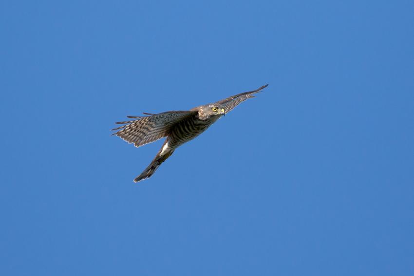 170920ツミ幼鳥4