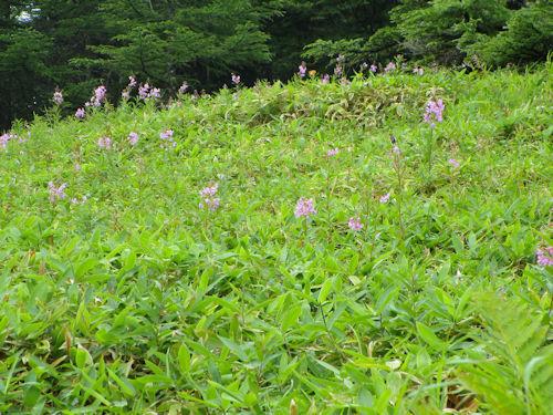 1湿原の花々1