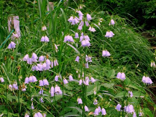 湿原の花々4