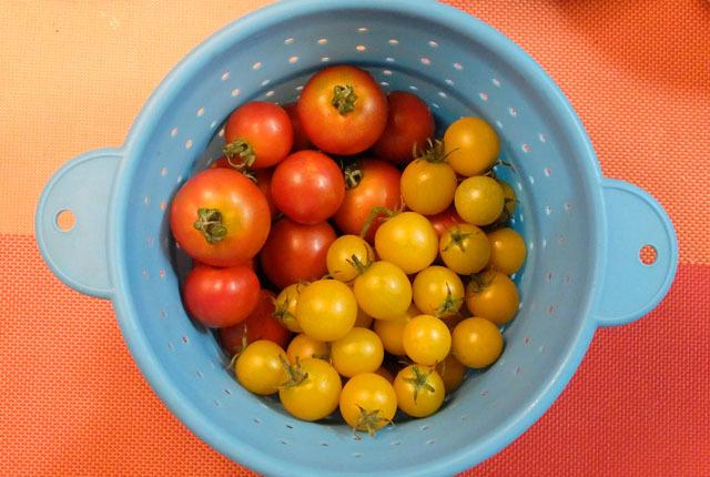 4978 ミニトマト収穫 640×430