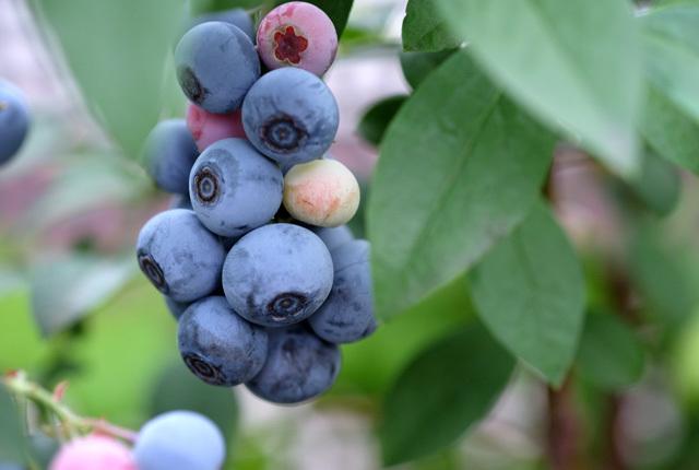 9430 ブルーベリーの収穫 640×430