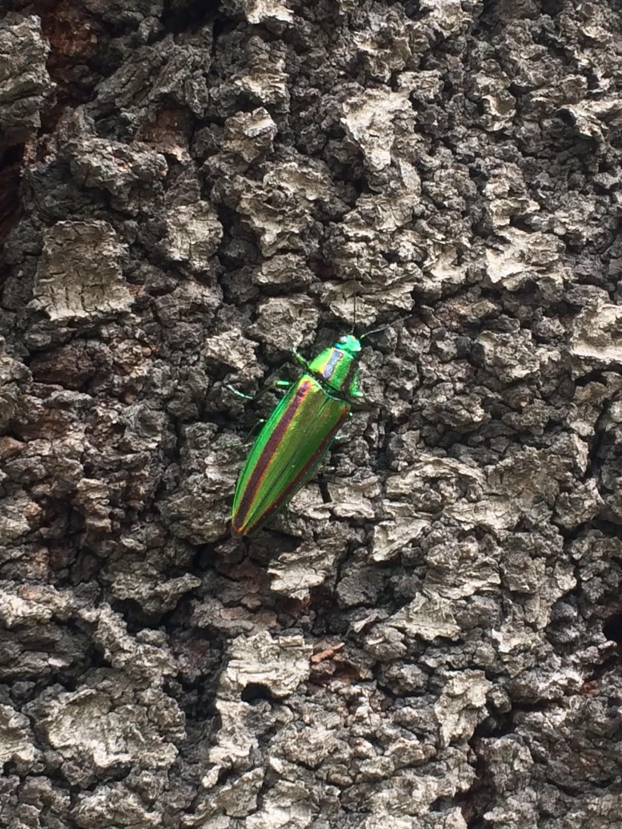 靖国の玉虫