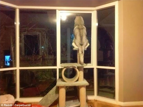 42E75F4E00000578-4754334-This_dog_made_use_of_the_cat_s_furniture_and_used_it_to_look_out-a-12_1501756737238