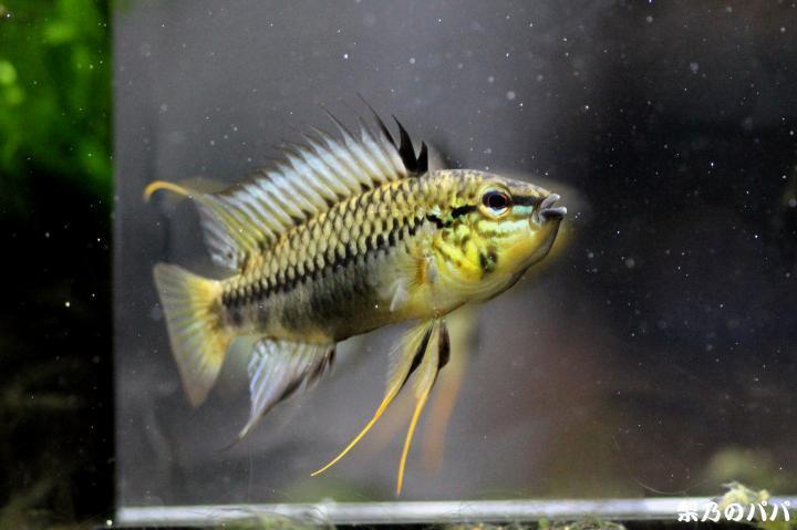 sp.グアビアーレ♂33