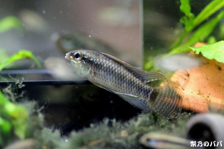 A.ベリフェラ♂2