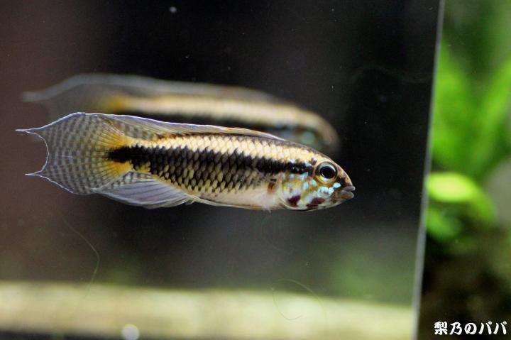 ブルトケール.コロンビア♂33