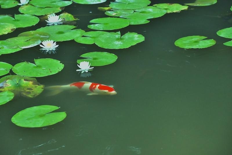 water lily(睡蓮)