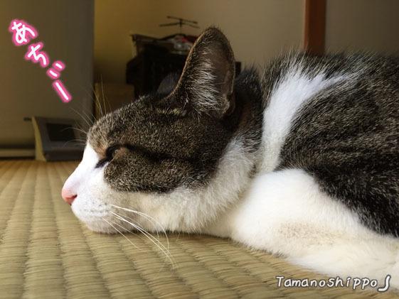 暑いーと文句言いたげな猫(ちび)グテン