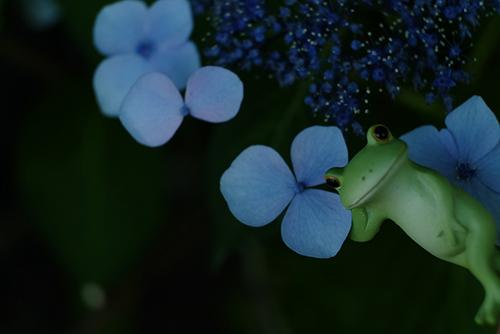 ツバキアキラが、紫陽花と一緒に撮った、カエルのコポーシリーズ・Mr.Frog