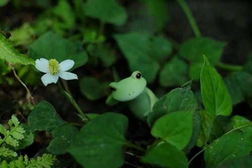 ツバキアキラが撮った、カエルのコポーシリーズ・Mr.Frog。ドクダミの白い花のそばでゴロリ。