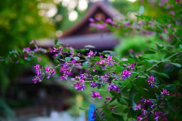 20170817 萩の花