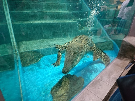 DSC_1235泳ぐワニ
