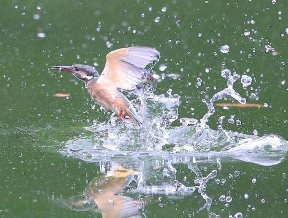 森林公園 カワセミ テレビ東京 池の水ぜんぶ抜く&駆除の達人 かいぼり 池 外来種