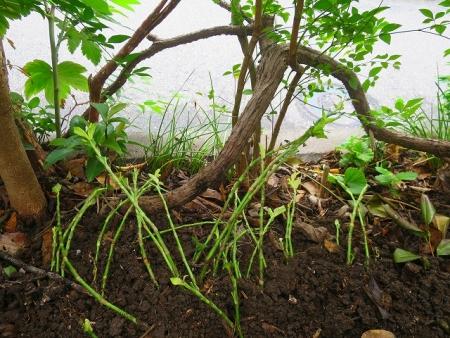 20170817 藍染後の茎を植えた