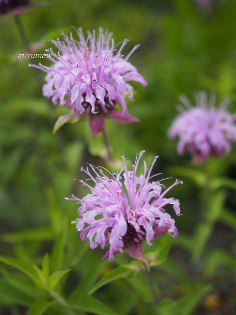 紫の花170603