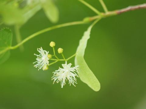 シナノキ花170715