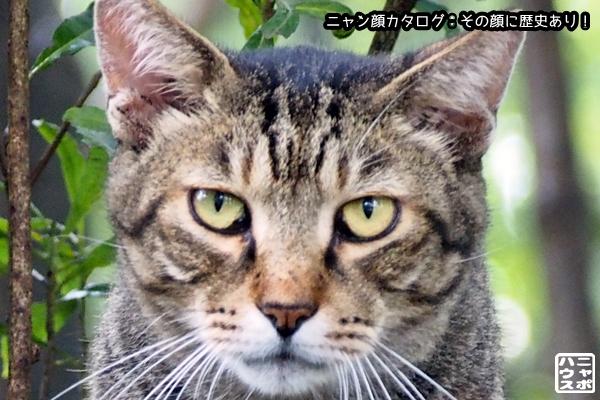 ニャン顔NO101 キジトラ猫さん
