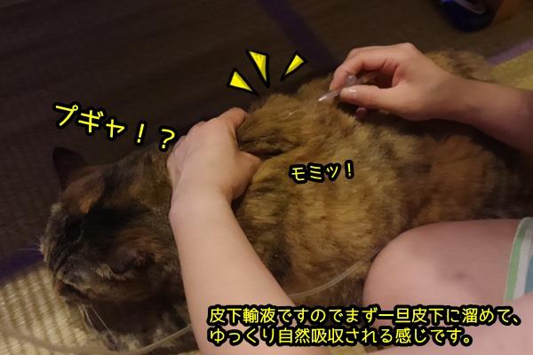 猫 ニャポ団長の便秘
