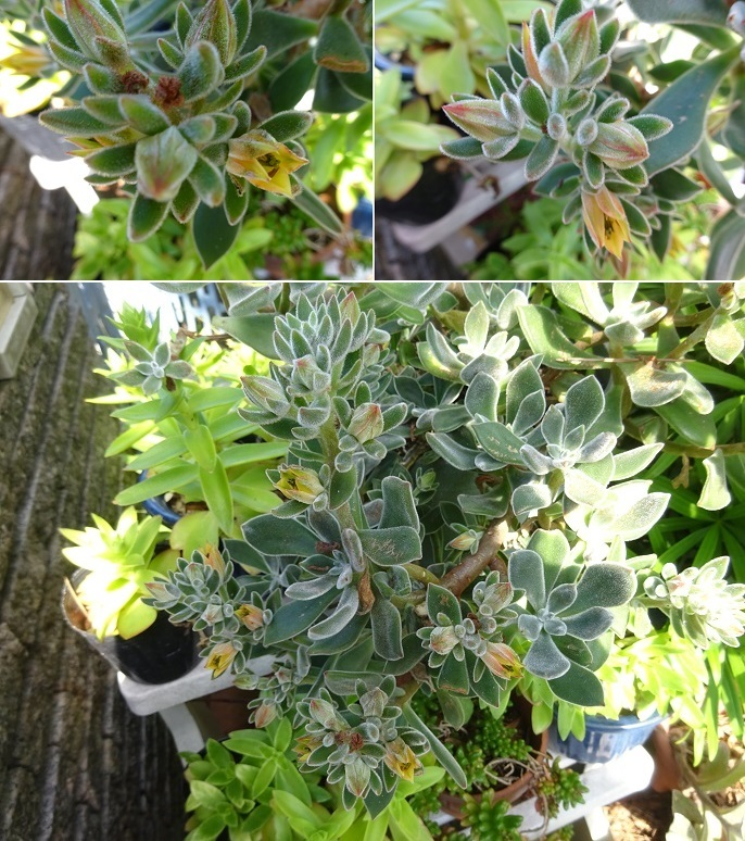 多肉植物の花
