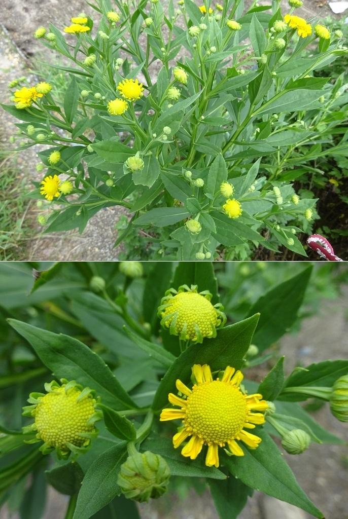 畑のサンビタリアの様な花