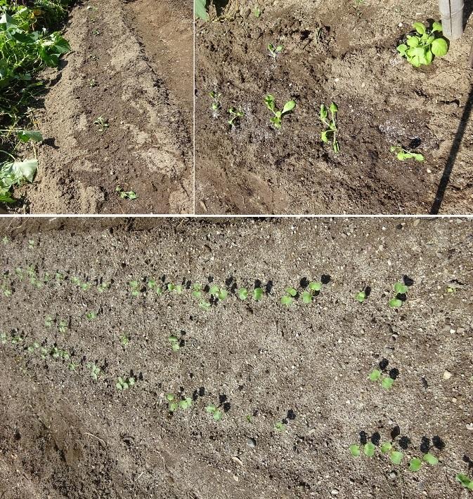 大根の発芽とキャベツの苗