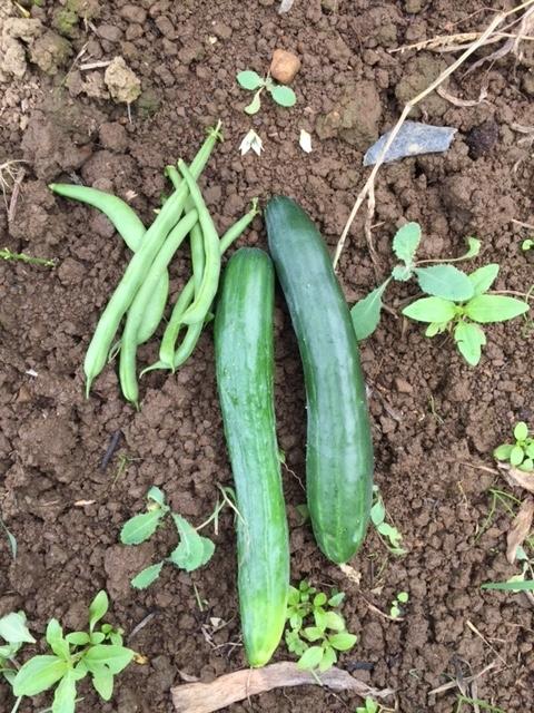 0720収穫2