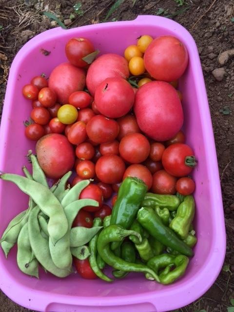 0724収穫1