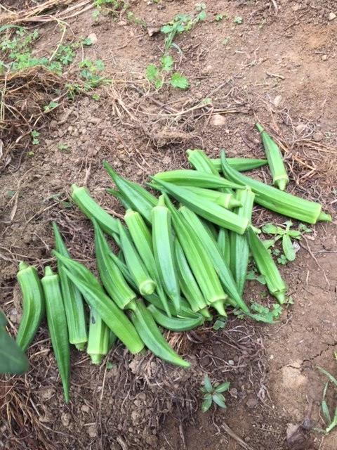 0724収穫2