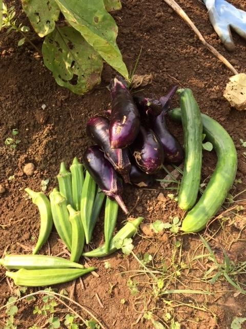 0726収穫1