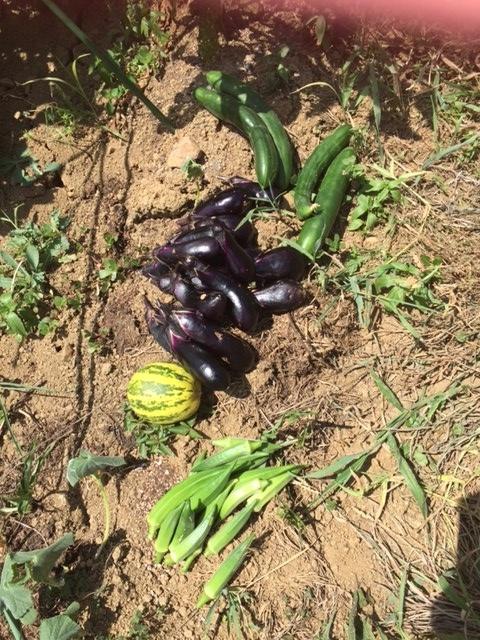 0804収穫1