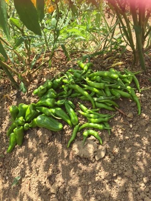 0804収穫2