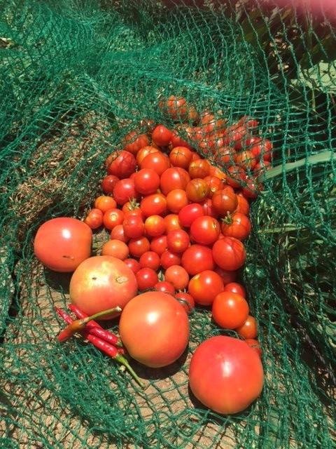 0804収穫3